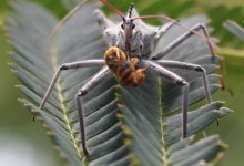 Assassin Bug aka Wheeler bug